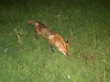 Fox at night on front lawn without fear.