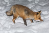 Small fox on front walk in winter. Snow falling.