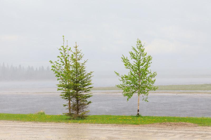 Trees along the Moose River in Moosonee in heavy rain.