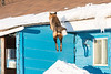 Fox jumping to roof of Keewaytinok Native Legal Services.