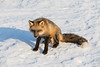 Fox on snow.