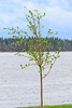 Tree leaves coming out along the Moose River 2017 May 31st.