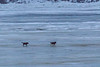 Two dogs head across the ice to Moose Factory in the rain. 2017 December 5th.