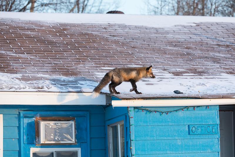 Fox walking on roof.