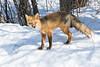 Fox on snow looking towards camera.