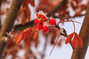 Leaves, berries and snow on a tree along the Moose River.