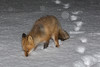 Fox in the snow in Moosonee. Light snowfall.