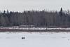 People walking on the Moose River at Moosonee 2017 January 23rd.