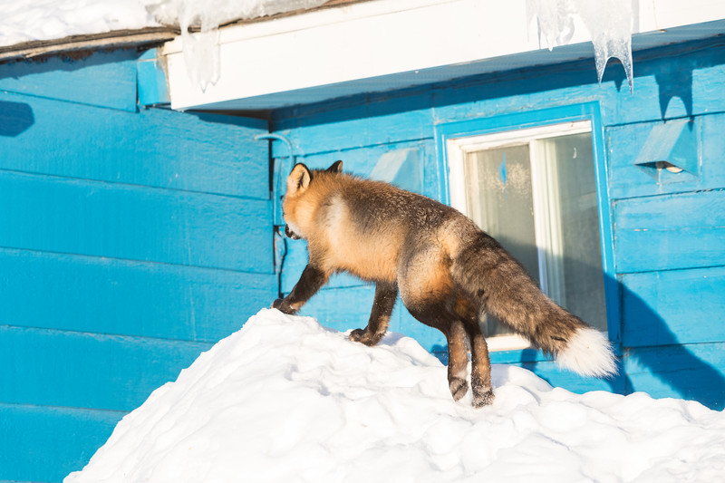 Fox on top of snow near front entrance.