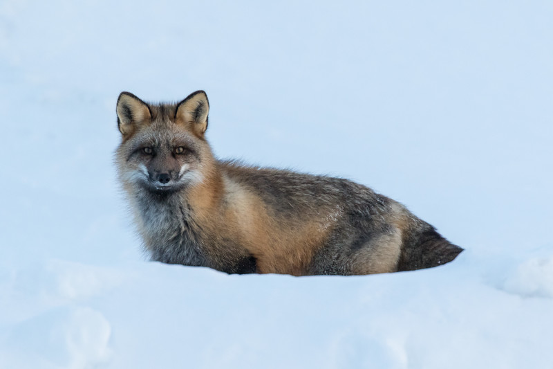 Fox sitting on snow bank along the Moose River in Moosonee. Late afternoon.
