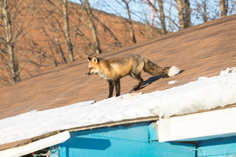 Fox on roof.