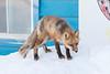 Small fox on snowbank.