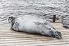 Gray seal on Two Bay Docks.