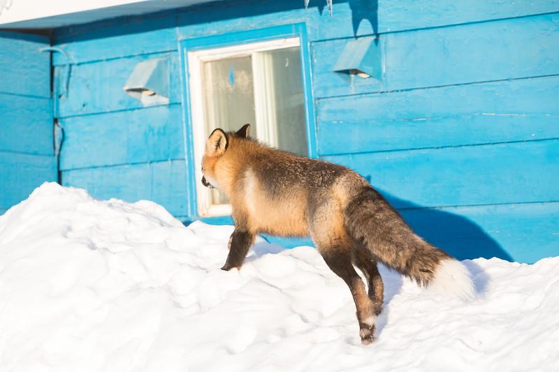 Fox walking on snow around building.