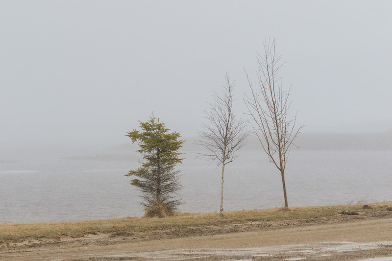 Trees along the Moose River in light snow. 2017 May 18th.