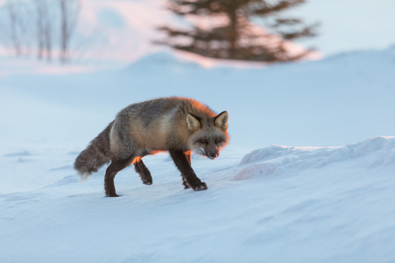 Fox walking on sloping snow shortly after sunrise.
