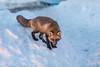 Fox descending snow bank.