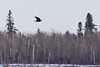 Raven flying over the river with a brown egg in its beak.