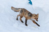 Small fox descending snowbank.