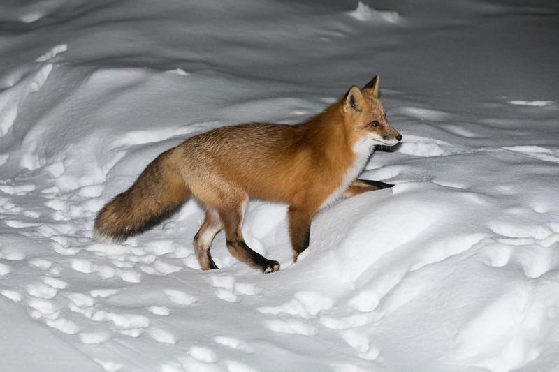 Fox climbing up a small snowbank.