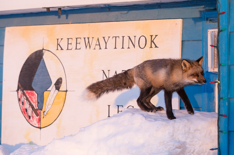Fox in front of Keewaytinok Native Legal Services sign.