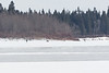 Two people walking on the Moose River. 2017 April 20th.