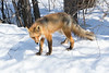 Fox on snow looking towards camera. Eyes more open.