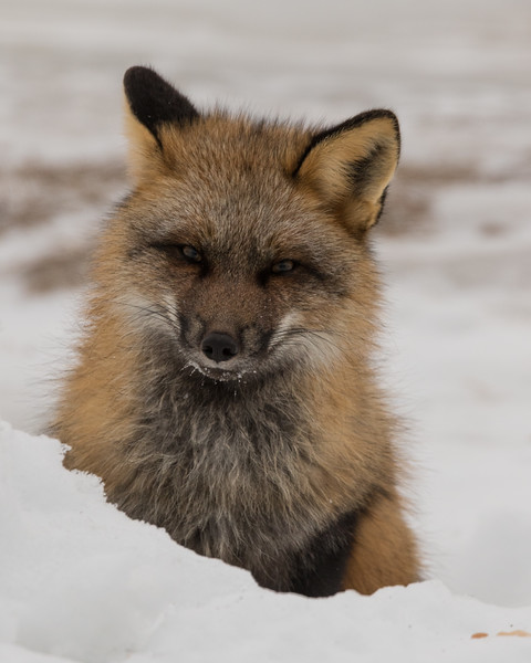 Fox behind snow along the road.