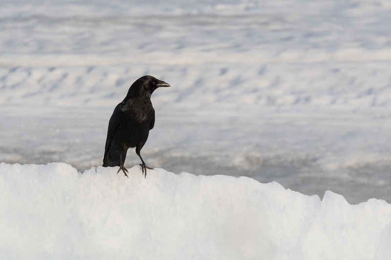 Crow along the tidemark of the Moose River.