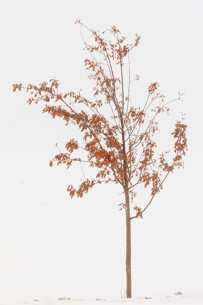 Tree with some red leaves remaining along the Moose River in Moosonee 2017 November 21 in moderate snow.