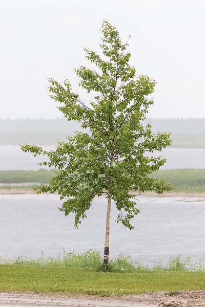 Tree along the Moose River in the rain in Moosonee