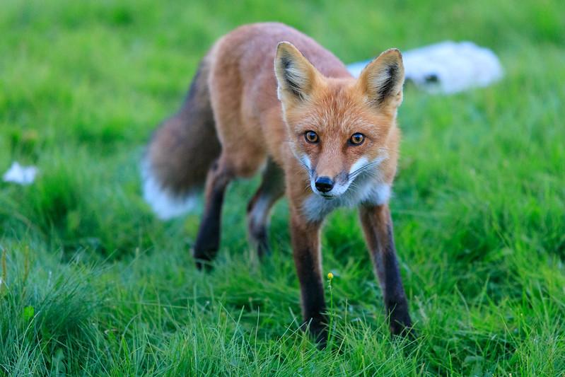 Fox on the lawn.