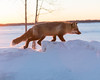 Just after sunrise fox walking on snowbnk along the Moose River in Moosonee.