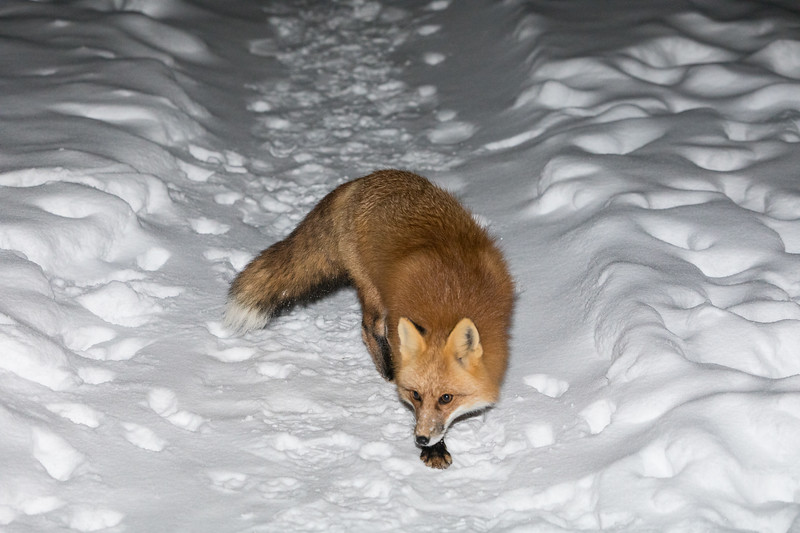 Fox coming along pathway