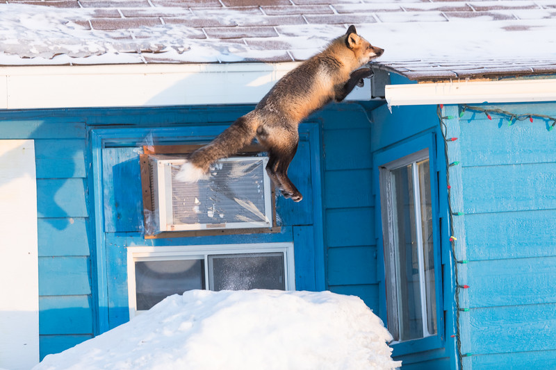 Fox jumping to roof. Front paws almost on roof.