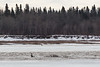 Log floating down the Moose River during breakup 930 am 2017 April 28th.