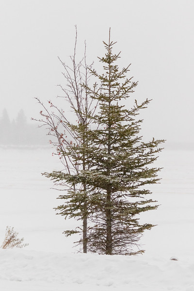 Trees along the Moose River in Moosonee during morning snow 2017 November 24th.
