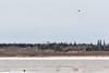 Helicopters across the Moose River.
