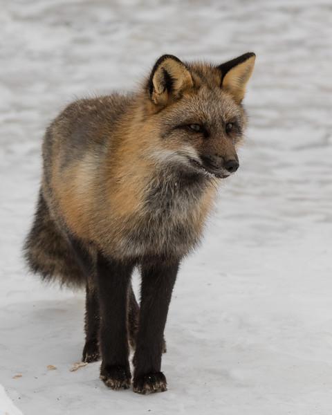 Fox on walkway.