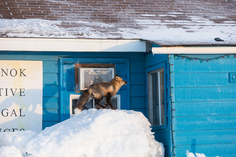 Fox preparing to jump to the roof.