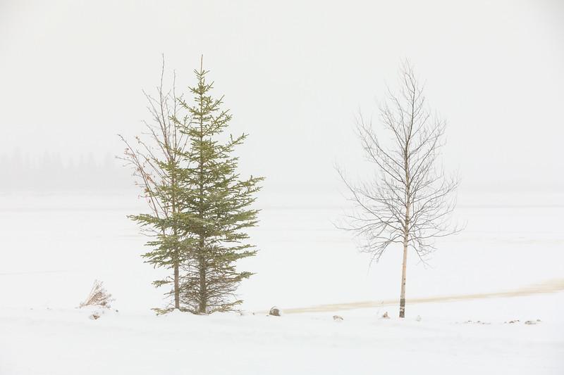 Trees along the Moose River in Moosonee 2017 November 21.