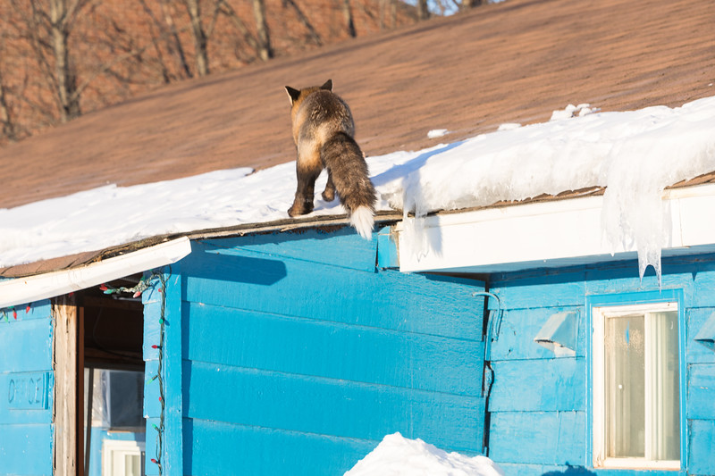 Fox landing on roof.