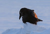 Raven at sunrise along the Moose River. Feathers on back lit by rising sun.