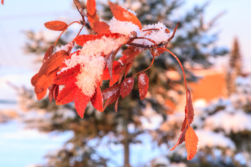 Leaves and snow at sunrise.