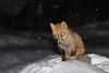 Fox in the snow in Moosonee. Light snowfall.