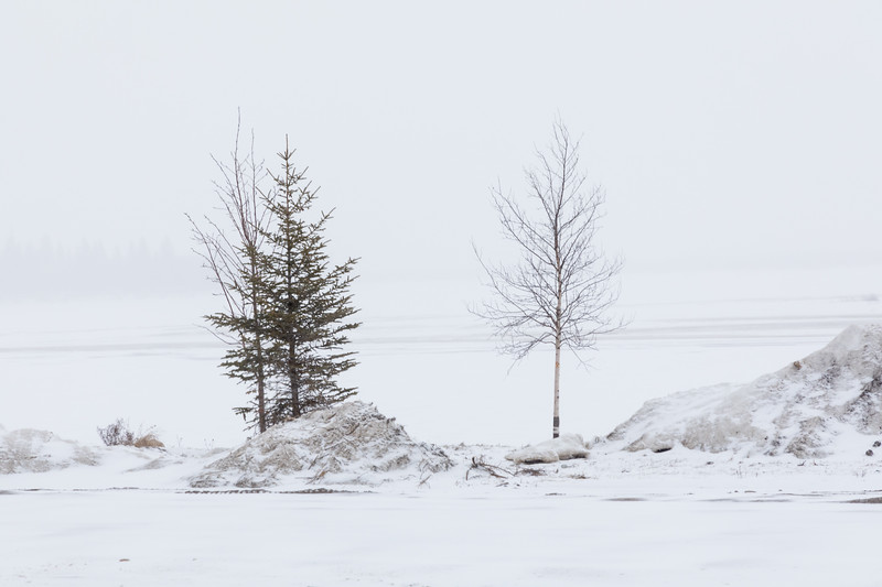 Trees along the Moose River after fresh snowfall. 2017 April 16.