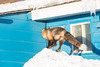 Fox getting ready to jump to roof.