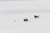Two dogs near formations on the Moose River ice.