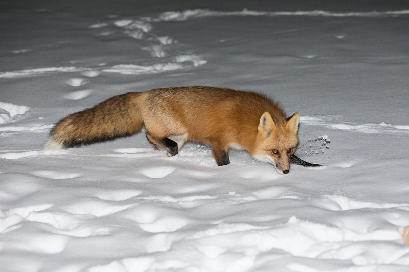 Fox walking in snow.