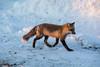 Fox on front walk.